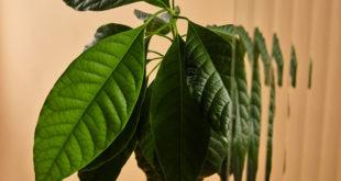 avokado yaprağı çayının sağlığa zararları ve yan etkileri nelerdir?